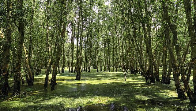 Tra Su melaleuca forest 01
