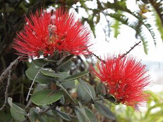 ohia lehua, Metrosideros polymorpha flowers and leaves, Hawaii Volcanoes National Park   by Jim Morefield