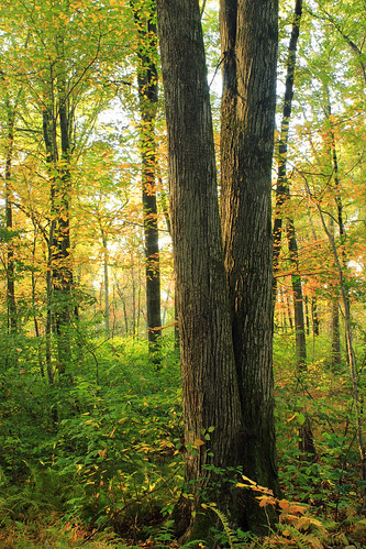 autumn trees nature forest pennsylvania foliage creativecommons deciduous berkscounty undergrowth understory temperatedeciduousforest williampennstateforest ruthzimmermannaturalarea