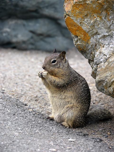 chipmunk - Hörnchen
