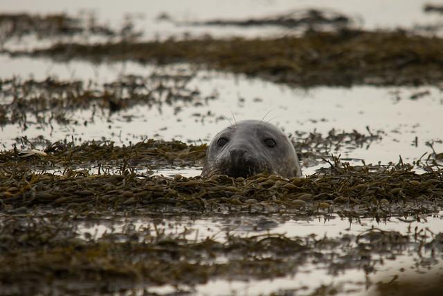 Grey Seal - Explored 09 Nov 2014