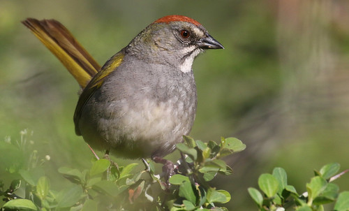 Green-tailed Towhee | by IsaacCSanchez
