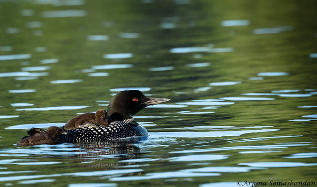 Loons -1