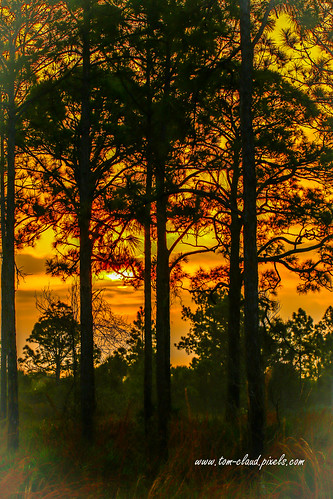 orange sky orangesky tree trees pines pinetree landscape nature mothernature natural sweetbay sweetbaynaturalarea palmbeach palmbeachcounty florida usa outdoors outside