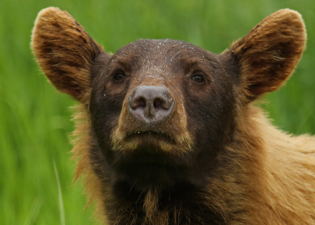 Cinnamon coloured Black Bear...#12 (In the wild...)