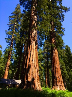 Mariposa Grove of Giant Sequoias | by Robby Edwards