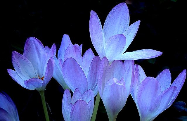 Exquisite CROCUS Flowers
