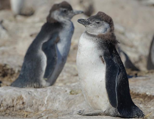 Pingüino Patagonico / Pingüino Magallanico / Magellanic Penguin / Spheniscus magellanicus