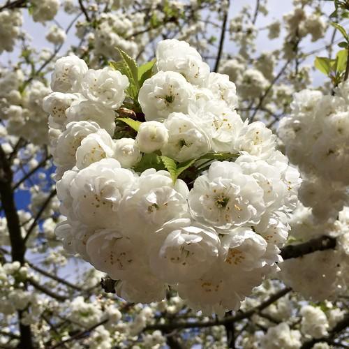 Regent's Park cherry blossom 2017   by Fran Pickering