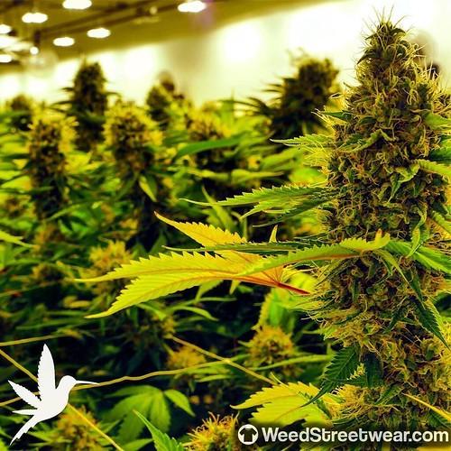 Weed Marijuana Cannabis 420 | by WeedStreetwear420