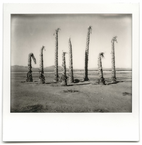 eyetwistkevinballuff eyetwist dead palm trees palms desert decay ruin bleak mojavedesert impossibleproject polaroid spectra pro impossible bw image blackwhite polaroidspectrapro impossiblebwspectra project pz black white mono monochrome sooc film analog analogue ishootfilm instant integral mojave america americana american west americantypology california arid dry hot abandoned faded sunburned decayed derelict lucernevalley failed subdivision typology landscape dessicated roidweek roidweek2017 apocalypse dystopia minimalist