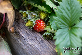 Letzte Erdbeere | Projekt 365 | Tag 294