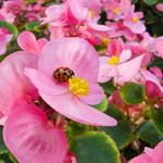 Ladybugs bring good luck
