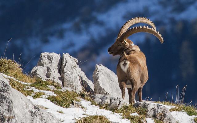 Capra ibex -Bouquetin des Alpes-