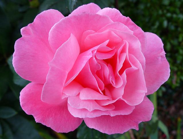 03. Rose in my friend's garden in Long Island, NY