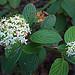 Flickr photo 'N20141030-0063—Cornus sericea ssp sericea—RPBG' by: John Rusk.