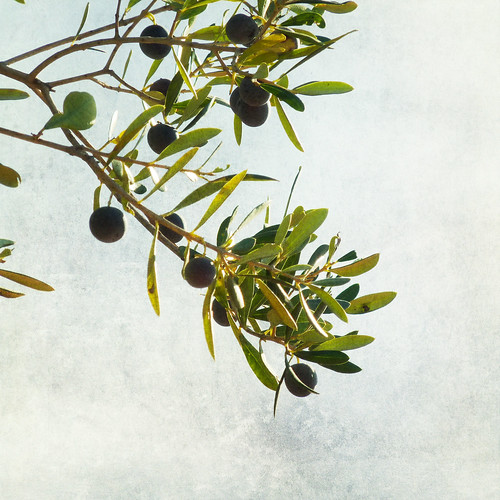 Olive branch | by Nick Kenrick..