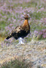 Red Grouse, by upperwinskill
