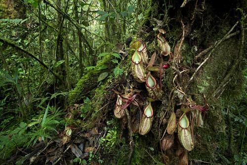 Nepenthes gymnamphora | by Arddu