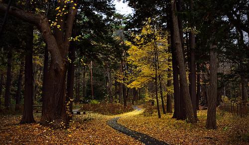 japan ginkgo sapporo nikon hokkaido autumnleaves 北海道 銀杏 紅葉 札幌 maruyamapark 円山公園 d7100 nikond7100 sigma1835mmf18art kaifudo saekinoi