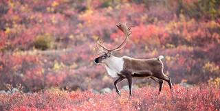 Walking Caribou   by Adam Hill Photo