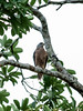 Variable Goshawk (Accipiter hiogaster) by David Cook Wildlife Photography