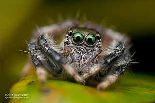 Jumping Spider (Pancorius sp.) - DSC_5453