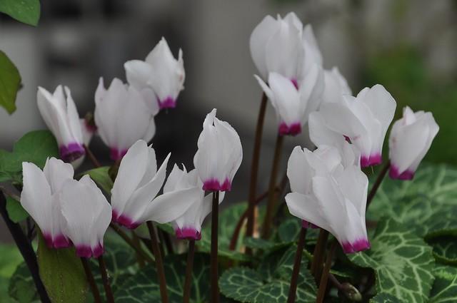 Garden cyclamen