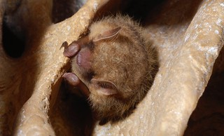 Tri-colored bat | by USFWS/Southeast