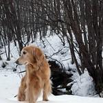 あれ、エゾリスさん見つけた! #冬 #川 #雪 #小川 #森 #木  #winter #creek #stream #forest #犬 #ゴールデンレトリーバー  #レトリバー #ゴールデン #犬バカ部 #癒しワンコ #ふわもこ部 #ゴールデンレトリバー  #retriever #goldenretriever #dog #retrievers #goldenretrievers #dogs . 北海道の風景は @hscape を見てね♪