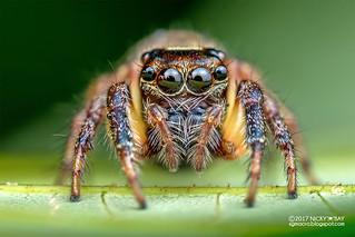 Jumping spider (Pancorius sp.) - DSC_3836