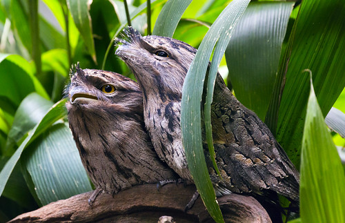 Tawny Frogmouth | by bidkev1 and son (see profile)