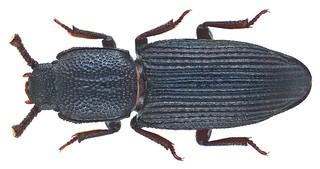 Pycnomerus (Dechomus) sulcicollis (Germar, 1824) | by urjsa