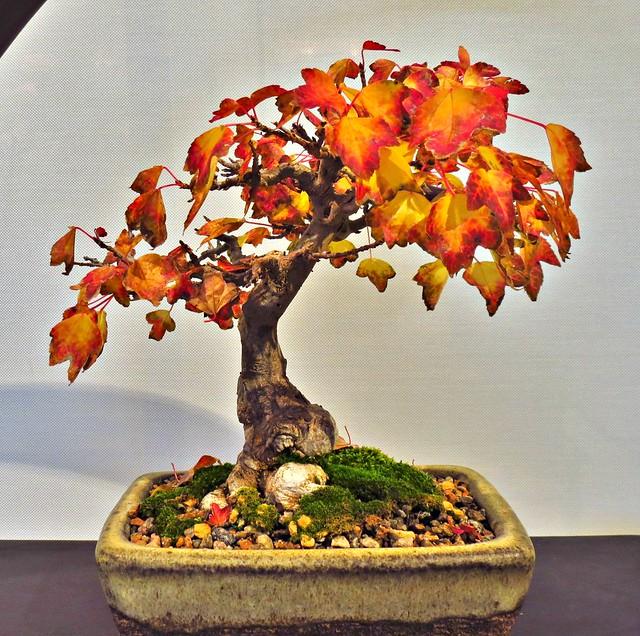 Shohin, Miniature Bonsai, Bonsai Show, Toronto Botanical Garden, Toronto, ON