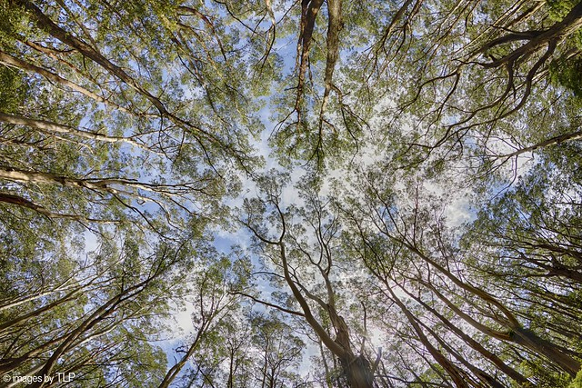 looking up in the otways