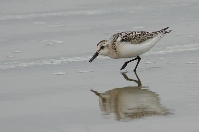 Sanderling reflected in wet sand