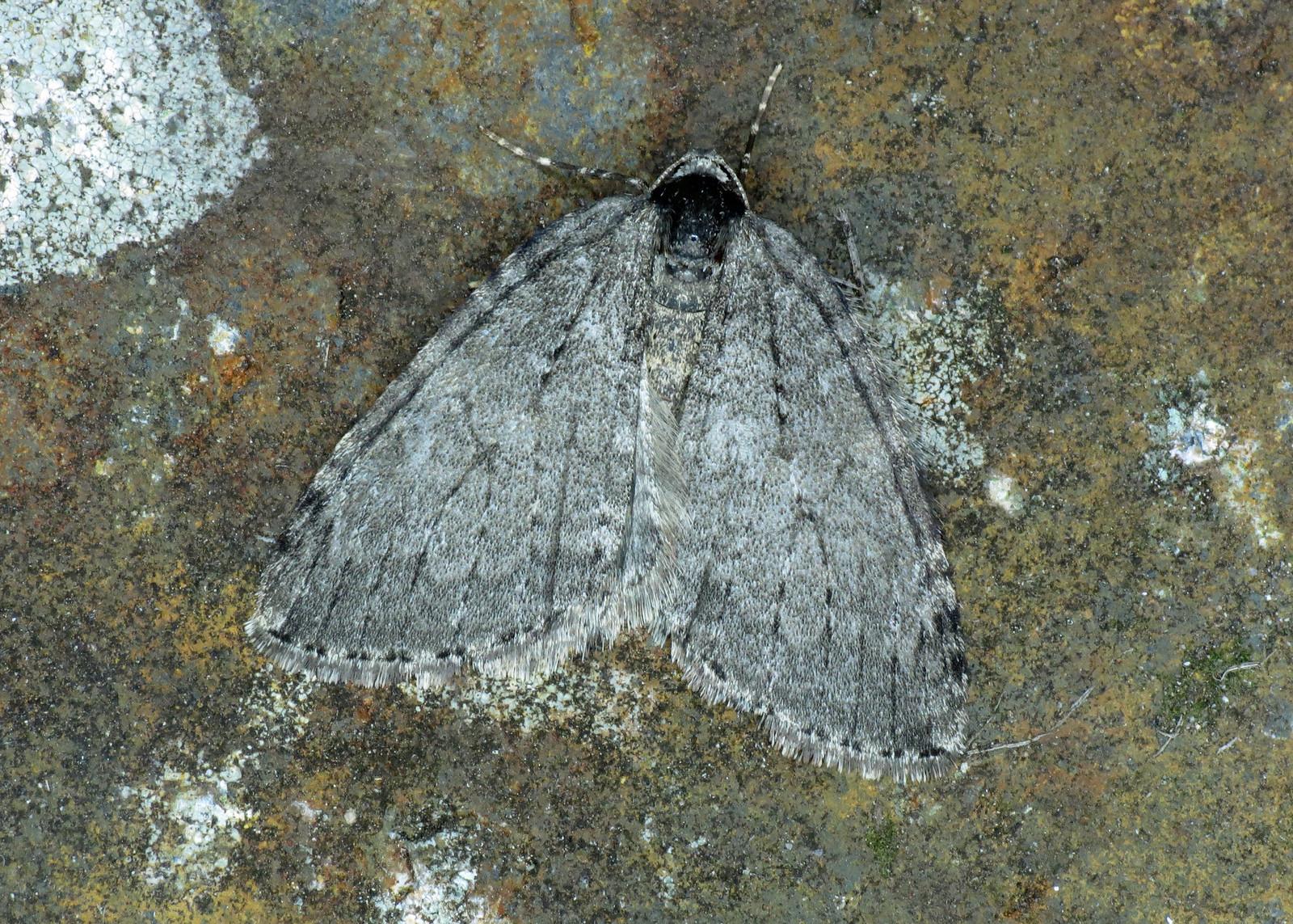 1795x November Moth Epirrita dilutata agg.