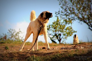 Anatolian Shepherd Dogs, Kangal Dogs from Central Turkey | by guideali