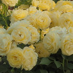 Rose, Golden Border, バラ, ゴールデン ボーダー,