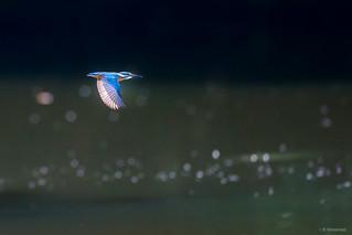 Kingfisher - Martin-pêcheur | by M4rcrp