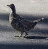 Sooty Grouse (Dendragapus fuliginosus) by cv.vick