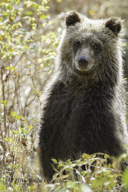 Young Grizzly Cub Stands Up In The Fall Foliage