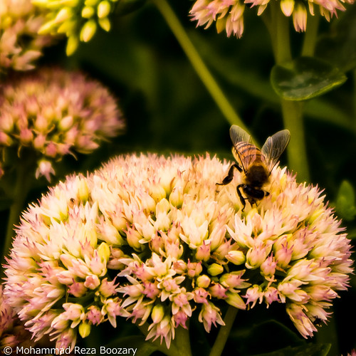 Flower & Bee   by Mohammad Reza Boozary