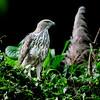 เหยี่ยวต่างสี Changeable Hawk-Eagle by somchai@2008