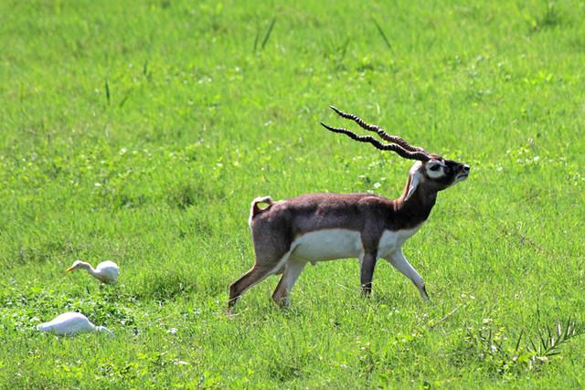 Antelope at Sikandra fort