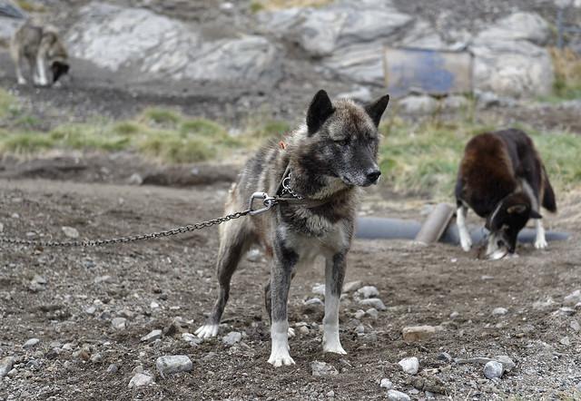 GROENLAND  chiens de traineaux