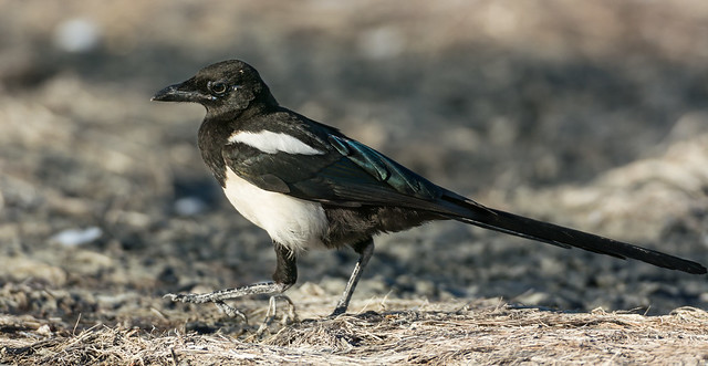 Melencoly Magpie