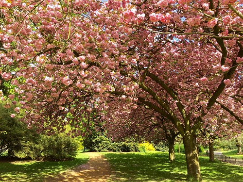 Kensington Gardens 2017 cherry blossom   by Fran Pickering
