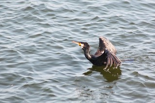 Grand Cormoran Phalacrocorax carbo Great Cormorant | by aigledayres