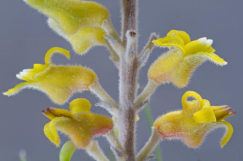 Persoonia saccata